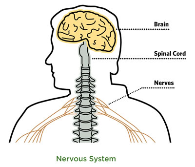 Graphic showing simplified diagram of human nervous system highlighting the brain, spinal cord, and nerves.